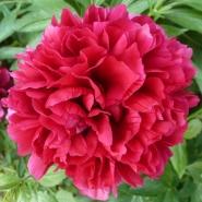 rote Pfingstrosenblüte in voller Pracht