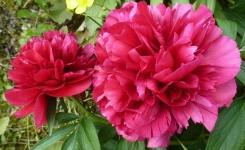 Zwei Pfingstrosenblüten so schön