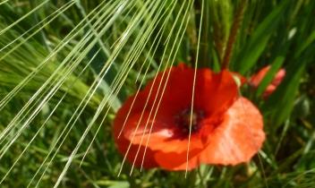 Mohnblüte im Kornfeld