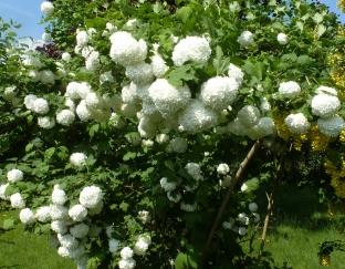weißer Schneeballbusch