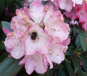 schöne Rhododendronblüte mit Biene