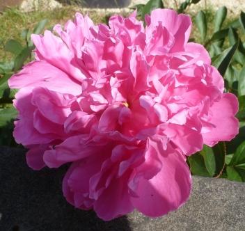 rosane Pfingstrose