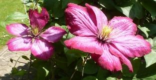 Clematisrankenblüten