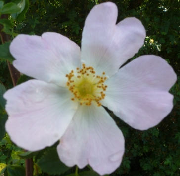 Wildrosenblüte in voller Pracht