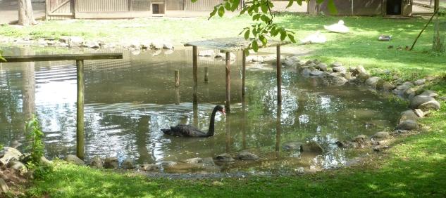 Der schwarze Schwan vom Schwanenteich Zoo