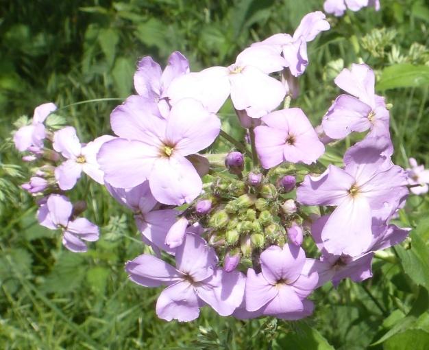 wilde Blüten am Ufer der Ahr