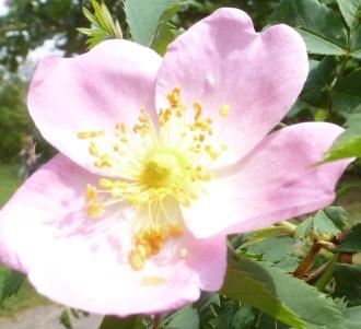Wildrosenblüte in rosa