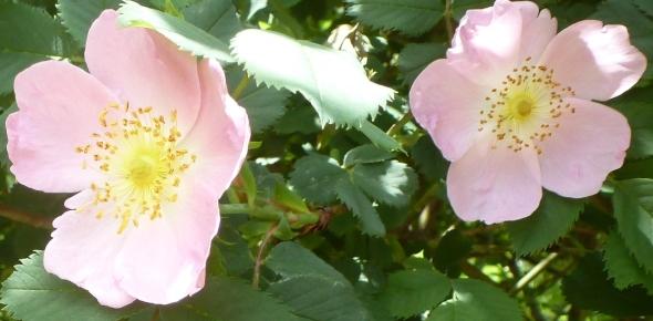 wilde Rosenblüten