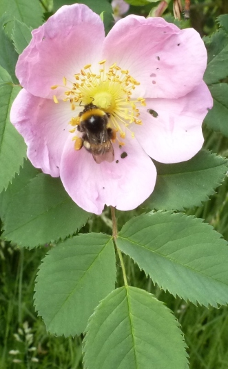 Wildrosenblüte mit Biene