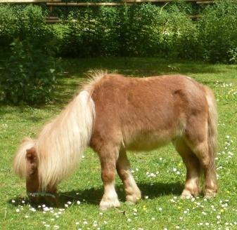 Ponny mit einer schönen Mähne