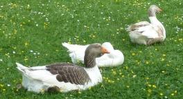 3 Graugänse beim Mittagsschlaf