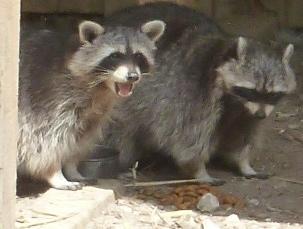 2 Waschbären in Aktion