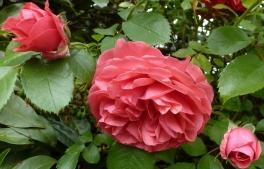 rote Pfingsrosenblüten