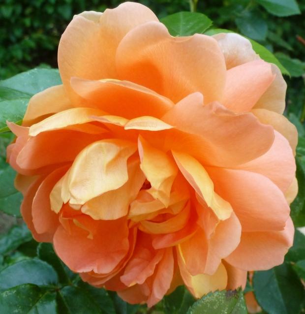 schöne Rosenblüte in rosa