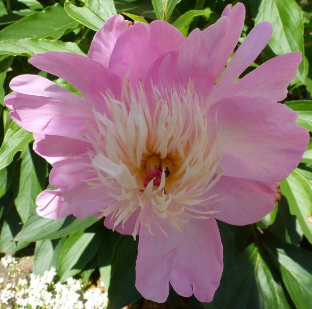 wilde Rosenblüte