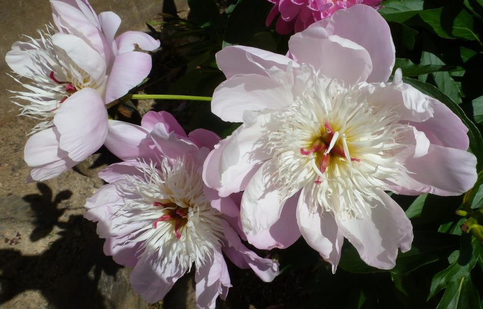 weiß rosa Wildrosenblüte