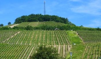 Weinberg in Ahrweiler