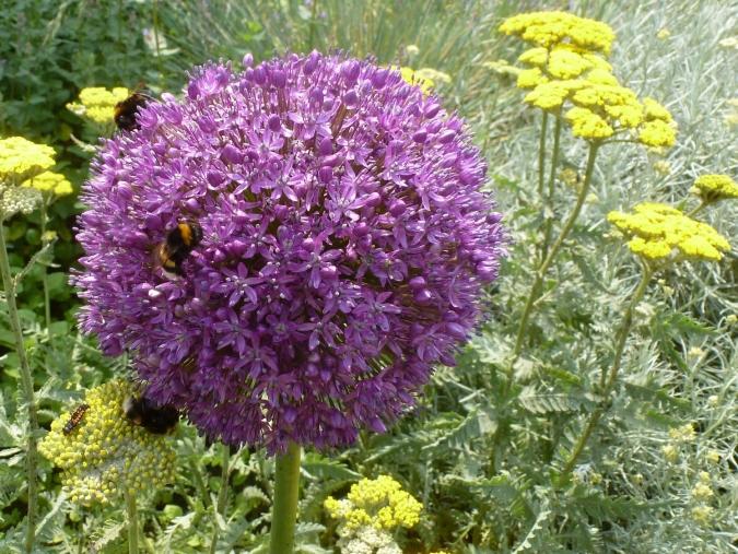 Zwiebelblüte mit Bienen