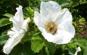weiße Rosenblüte mit den Honigbienen