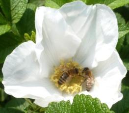 weiße Rosenblüte mit Bienen
