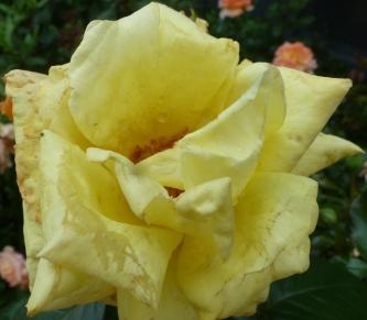 Gelbe Rosenblüte vom Regen verzaust