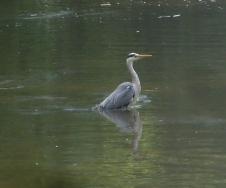 Der Reiher wartet auf ein Fischlein