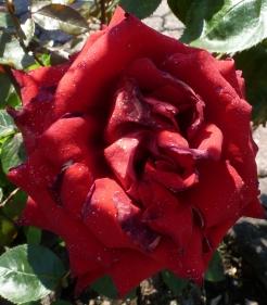 Die Rose nach dem Regen