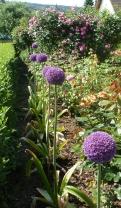 schöne Zwiebelgewächse mit Rosenbusch