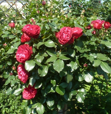 Rosenblütenbusch