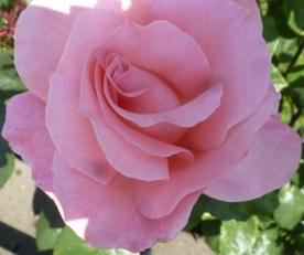 wunderschöne rosane Rosenblüte