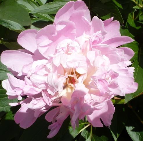 herrlich duftende Wildrose