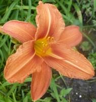 schöne Lilienblüte