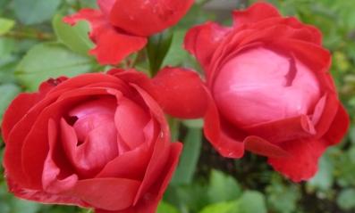 rote Rosenblüten in voller Pracht
