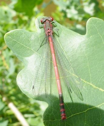 rote Libelle auf einem Eichenblatt