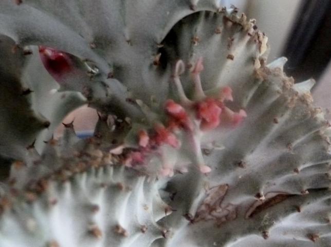 Blütenknospen vom Wolfmilchgewächs