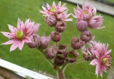 Wunderschöne Blüten von den Kakteen