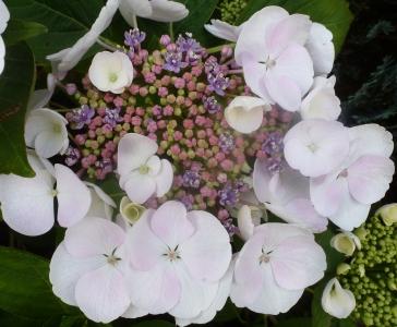 bunte Hortensienblüte