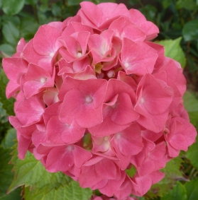 rote Hortensienblüte