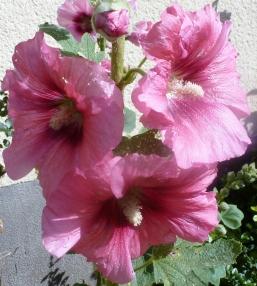 rosane Malvenblüten Zweig