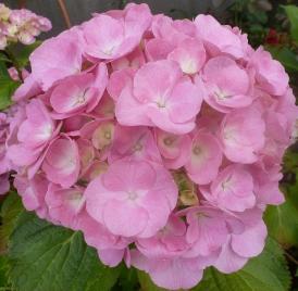 rosane wunderschöne Hortensienblüte
