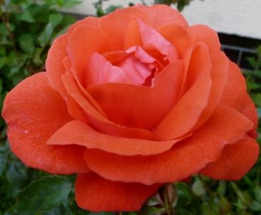 wunderschöne Rosenblüte