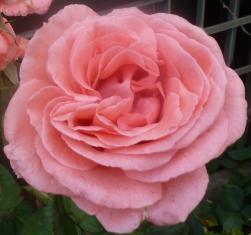 rosane Rosenblüte