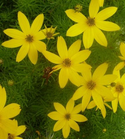 gelber Husarenknopf