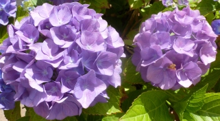 lilane Hortensienblüten