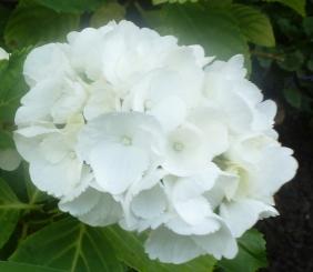 weiße Hortensienblüten