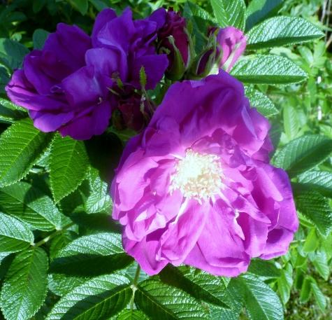 lilane Rosenblüten