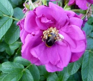 auch die Bienen lieben die lilane Blüte
