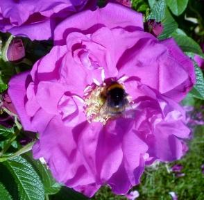 lilane Rosenblüte mit biene