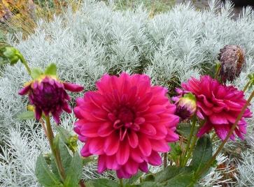 Dahlienblüten im Silbergras