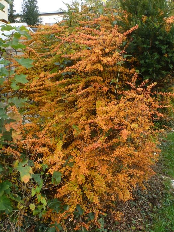 Herbstbusch in ihrer schöner Pracht